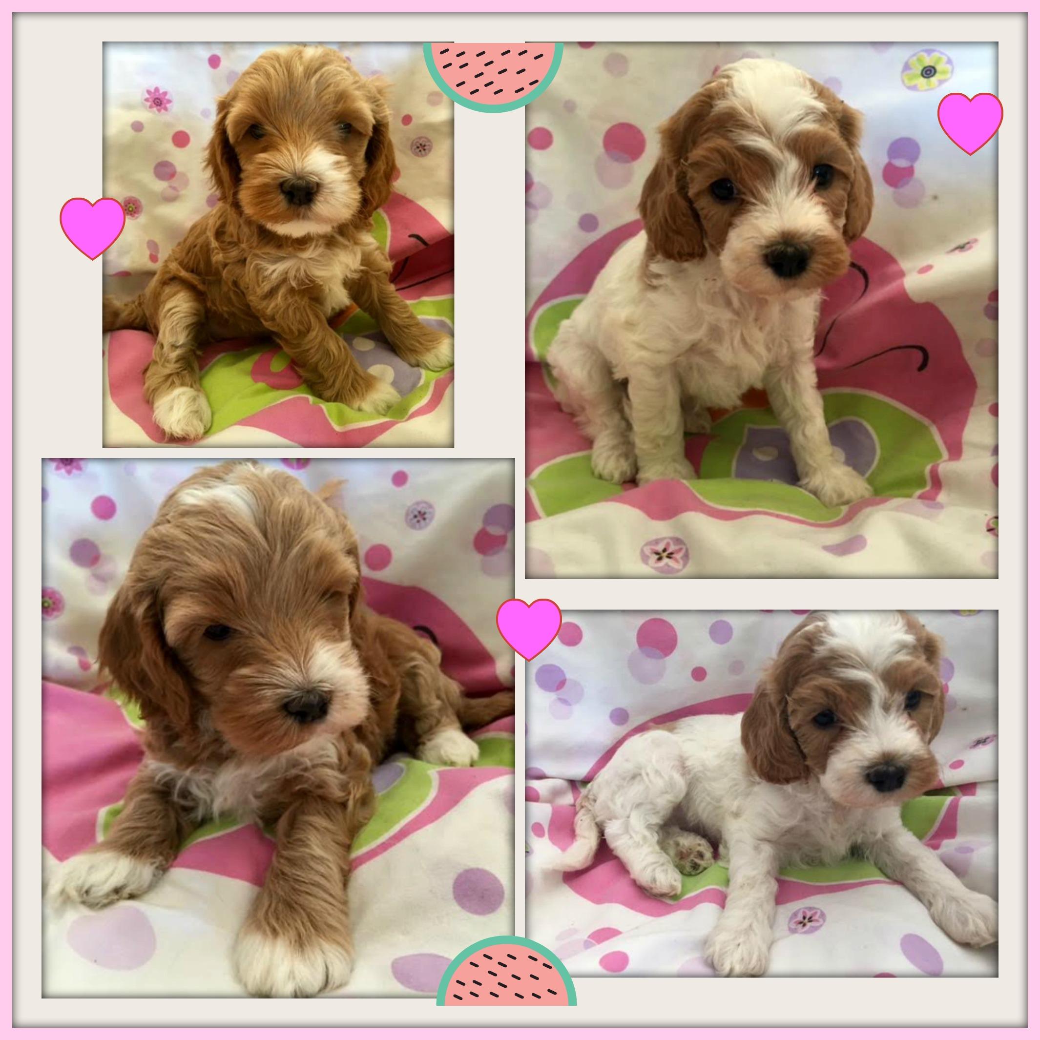 Labradoodle Puppies Gorgeous Doodles Australian Labradoodle