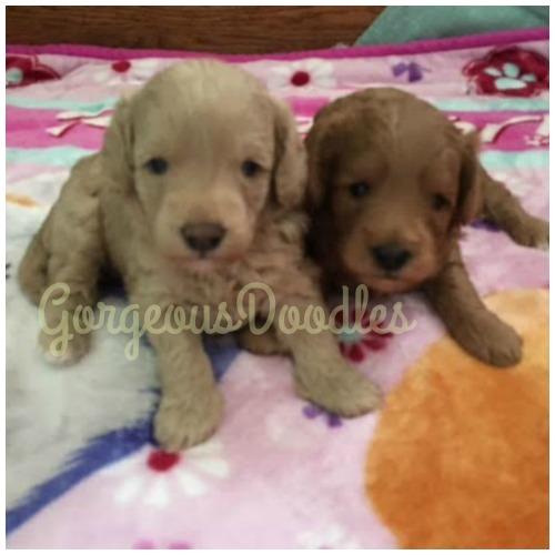 Utahna & Tinley puppies