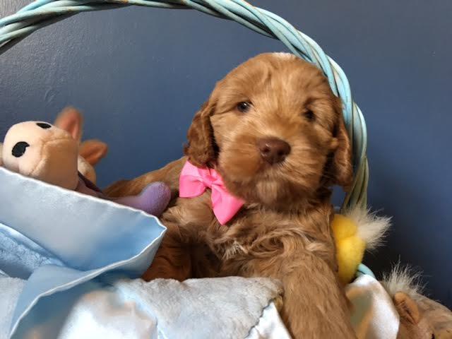 Holistic Puppy Dog Food Treats Gorgeous Doodles