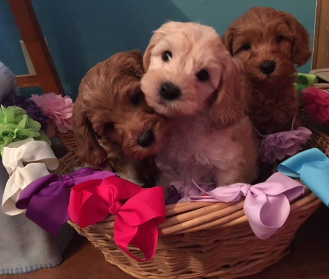 puppies for sale   Gorgeous Doodles