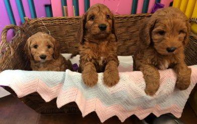 Labradoodle Puppies | Gorgeous Doodles | Australian