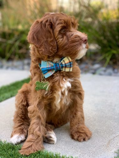 Labradoodle from Gorgeousdoodles